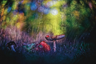 #160 - Life of toadstools / Ze života muchomůrek