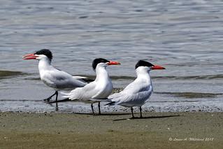 Three (Caspian Terns)