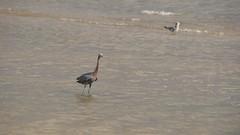 DSC04913 (Matthew283) Tags: bolvar wildlife 11182017 reddish egret
