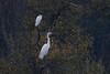 309.jpg (Kico Lopez) Tags: miño lugo aves galicia birds egrettagarzetta garcetagrande garcetacomún ardeaalba spain rio