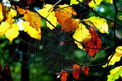Melancholic November (ej - light spectrum) Tags: makro macro spiderweb spinnennetz autumn herbst tautropfen dewdrops olympus omd em5markii mzuiko forest wald leaves blätter bokeh nature natur switzerland schweiz m60mmf28