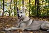 Vločenka - Posing (Crones) Tags: canon 6d canoneos6d canonef24105mmf4lisusm 24105mmf4lisusm 24105mm vločka csv čsv československývlčák canislupusfamiliaris vlčák vlcak dog wolfdog
