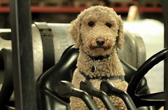 Harry, at work. 38 (EOS) (Mega-Magpie) Tags: canon eos 60d harry pet dog puppy forklift cute funny il illinois poodle indoors