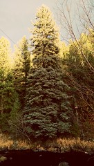 Evening in Evergreen, CO (BargeCaptain) Tags: tree river evergreen green pine