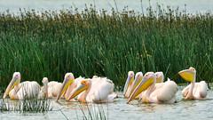 Great White Pelicans (jay_kilifi) Tags: safari nakuru kenya wildfowl bird birds pelican pelecanusonocrotalus easternwhitepelican rosypelican whitepelican pelecaniformes pelecanidae pelecanus nationalpark migratory waterbirds