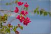 di bouganvilles  e cieli azzurri come il mare  ... (miriam ulivi) Tags: miriamulivi nikond7200 italia sicilia sicily fiori flowers nature bouganvilles cielo sky isoleeolie lipari