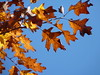 Red Oak (Dendroica cerulea) Tags: northernredoak redoak quercusrubra quercus fagaceae fagales tree oak leaf red plant leaves foliage autumn rutgersecologicalpreserve livingstoncampus rutgersuniversity middlesexcounty nj newjersey