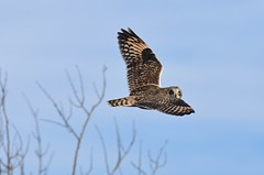 Short-Eared Owl (aj4095) Tags: owl nature wildlife ontario canada outdoor bird birding