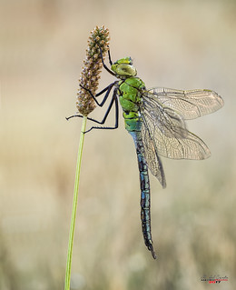 Young pure dragonfly