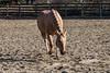 IMG_7204 (Tyler Ochs Photography) Tags: horses horse halter sandman palomino quarter aqha