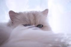 _DSC4461 (Adriano Clari) Tags: cat gatto pet animal breeder allevamento indoor interno adriano clari animale domestico gattino