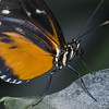 Heliconia Hecale (Ouwesok) Tags: sonya6000 sigmaapo56180mmmacro heliconiushecale passiebloemvlinder vlinder vlindertuin orchideeënhoeve manualfocus