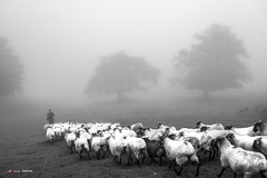 Niebla y rebaño (Jabi Artaraz) Tags: jabiartaraz zb euskoflickr rebaño artaldea ardiak lainoa sheep ovejas nature natur pastor mendia montaña