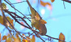 Autumn Colors & Autumn Warblers (Kaptured by Kala) Tags: oreothlypiscelata warbler seedpods seeds whiterocklake dallastexas sunsetbay pier closeup abovemyhead winterwarbler orangecrownedwarbler fallmigration migratingbird autumn autumncolors fallcolors fallwarbler eating feeding
