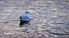 A juvenile Great Black Backed Gull in Stockholm (Franz Airiman) Tags: larusmarinus havstrut unge juvenile bird fågel seabird sjöfågel greatblackbackedgull saltsjön stockholm sweden scandinavia sea sjö vatten water animal djur intesäl