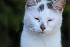 Thinking (excellentzebu1050) Tags: cat pet animal animalportraits closeup farm kitten coth5