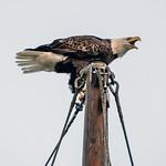 Eagle Squawk 6078 thumbnail
