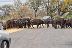 African buffalo crossing the road (NettyA) Tags: 2017 africa africanbuffalo day3 krugernationalpark southafrica synceruscaffer animal capebuffalo safari travel wildlife