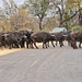 African buffalo crossing the road