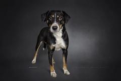 A handsome boy 2|3 (Marijke M2011) Tags: dog foxterrier dogportrait petportrait animal petindoor innocence studiolightning hond hondenportret huisdier studio onschuld