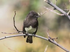 Black Phoebe, Sayornis nigricans (bruce_aird) Tags: