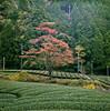 R201 Autumn Leaves (Tonx-) Tags: portra kodak japan shizuoka hasselblad film tea autumn