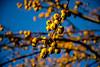 Apple tree (Foto_Art_) Tags: tree apple yellow blue bokeh sunlight golden nikon d610 2485mm winter countryside uk