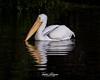 Great White Pelican (ToddLahman) Tags: greatwhitepelican pelican whitepelican africanloop african beautiful outdoors reflection canon7dmkii canon canon100400 closeup sandiegozoosafaripark safaripark