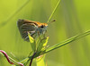 Poweshiek skipperling by Vince Cavalieri; USFWS (U.S. Fish and Wildlife Service - Midwest Region) Tags: summer fens butterfly prairie poweshiek skipperling endangered endangeredspecies insect vince cavalieri pollinator