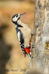 xxD40_3846 (Eyas Awad) Tags: eyasawad nikond4 sigma500f45 nikond800 nikonafs300mmf4 bird birds birdwatching wildlife nature picchiorossomaggiore dendrocoposmajor