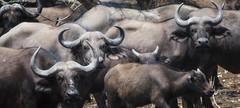 cape buffalo (charlesgyoung) Tags: charlesyoung africa zambia southluangwanationalpark kaingocamp karineaignerphotographyexpedition safari wildlifephotography nikon nikonphotography nikondx d500 200500 capebuffalo