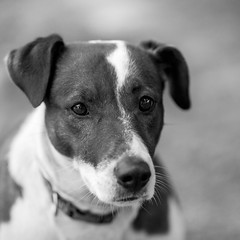 Maggie03Dec201725-Edit.jpg (fredstrobel) Tags: dogs pawsatanta phototype atlanta blackandwhite usa animals ga pets places pawsdogs decatur georgia unitedstates us