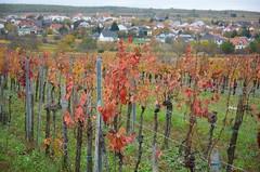 Mörbisch am Neusiedler See (anuwintschalek) Tags: nikond7000 d7k 18140vr sügis autumn herbst austria burgenland mörbischamsee mörbisch 2017 november weinland viinamarjaistandik neusiedlersee