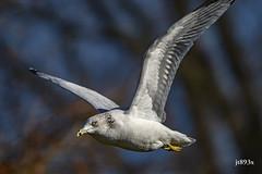 Ring-billed Gull (jt893x) Tags: 150600mm bif bird d500 gull jt893x larusdelawarensis nikon nikond500 ringbilledgull sigma sigma150600mmf563dgoshsms the group alittlebeauty coth thesunshinegroup coth5