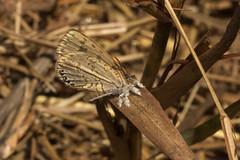 Lachnocnema bibulus (zimbart) Tags: belavista gorongosanationalpark mozambique africa fauna arthropoda insects lepidoptera rhopalocera lycaenidae butterflies lachnocnema lachnocnemabibulus specinsect