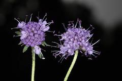 Succisa pratensis, la succise des prés ou mors du diable. (chug14) Tags: plantae plante fleur flower caprifoliaceae dipsacaceae herbedudiable morsdudiable succisedesprés asterocephalussuccisa succisapratensis unlimitedphotos