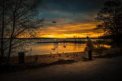 Bird Feeder (Edgar Myller) Tags: bird birds feed feeder old man klobben espoo sunset light dramatic beach tree crow