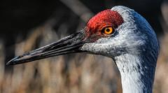 Sandhill Crane (wesleybarr1962) Tags: sandhillcrane crane antigonecanadensis