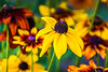*** (donnicky) Tags: blooming blurredbackground closeup colorful day daylight dof flower flowerhead nature nopeople outdoor petal plant publicsec summer yellow