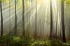 I see the light (Rita Eberle-Wessner) Tags: wald forest baum bäume tree trees sunrays sunbeams sonnenstrahlen nebel fog green grün holz wood laub laubwald odenwald diagonalen diagonals diagonal