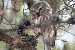 Petite Nyctale_070A6251v3 (d.jauvin) Tags: hibou chouette québec petitenyctale northernsawwhetowl aegoliusacadicus