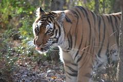 2017-1129 madonna tiger (11)