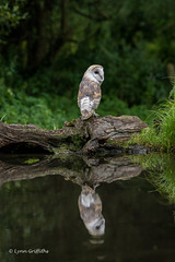 Barn Owl and reflection 750_0451.jpg (Mobile Lynn - Limited internet) Tags: owls barnowl birds nature bird fauna strigiformes tytoalba wildlife nocturnal otterbourne england unitedkingdom gb coth specanimal coth5 ngc