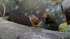 a wren on a trunk (Franck Zumella) Tags: wren troglodyte mignon oiseau bird animal nature wild life vie foret wood bois trunk tronc sauvage forest wildlife bokeh marron
