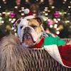 Olaf the English Bulldog (charmainesenaphotography) Tags: olaf dogs pets animals puppies english bulldogs englishbulldogs bullies smushface expression holidays bokeh canon christmas santa