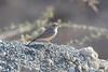 DSC_0198 (Kjell Arild Dokka) Tags: spurvefugler lerker ørkenlerke ammomanes deserti iran bandarabbas genu