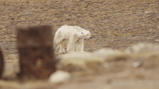 Gấu Bắc cực gầy dơ xương lê lết kiếm ăn vì đói - lời cảnh tỉnh đáng sợ với con người về biến đổi khí hậu - Ảnh 2.