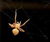 Spin and swirl (WinRuWorld) Tags: spider invertebrate arachnid animal creature arthropod outdoors garden fauna australiangardenorbweaver eriophoratransmarina araneidae araneid orbweaver cobweb silk architect entrapment macro macrophotography nature naturephotography wildlife wildlifephotography naturalworld canon canonphotography nsw newsouthwales australia spidersofaustralia ef100mmf28lmacroisusm canon100mmmacrolens