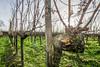 Mushrooms on vines (Che Camera) Tags: badenwürttemberg bischoffingen blendenstern gegenlicht kaiserstuhl pilz rebe samyang12mmf20 sonnenstern sonyalpha6000 teamsony vogtsburg weinrebe mushroom sunstar vines vogtsburgimkaiserstuhl deutschland de