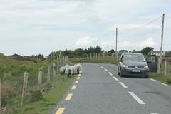 IMG_3303 (avsfan1321) Tags: ireland killaryfjord countygalway countymayo connemara wildatlanticway sheep